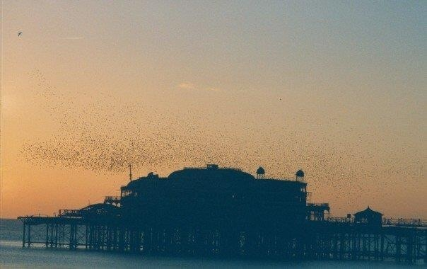 Starlings coming to roost at The West Pier in Brighton