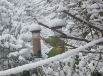 Parakeets very happy to find out peanut feeder in the snow