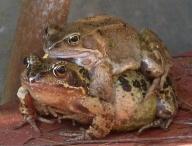 Hugging Frogs
