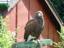 A Harris Hawk in Devon
