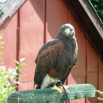 A Harris Hawk in Devon