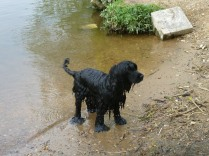 Wilson's paws show their size when they are in water... He has webbed feet and is an excellent swimmer
