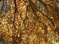 Beautiful golden beech leaves in the November sun