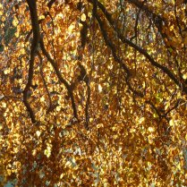 Beautiful golden beech leaves in the November sun