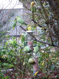 Parakeets back in force for peanuts now that it's December