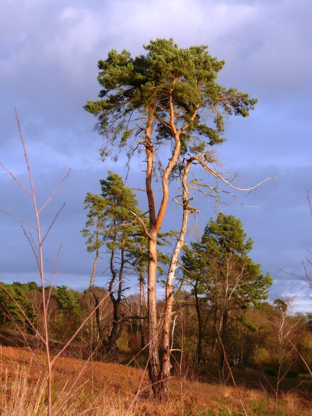 A lonesome Pine