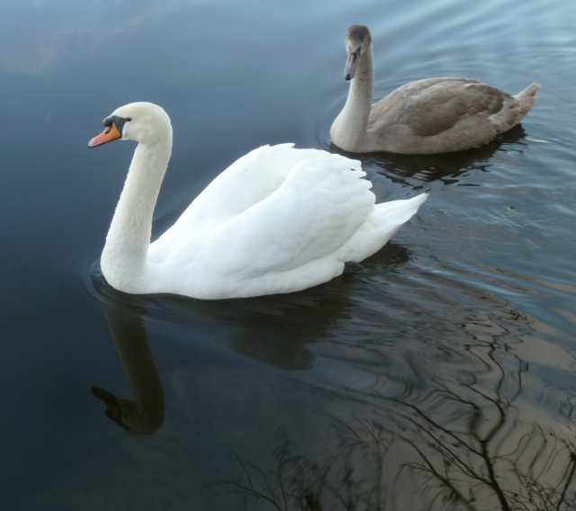 Swan & Cygnet, Black Pond Esher Common