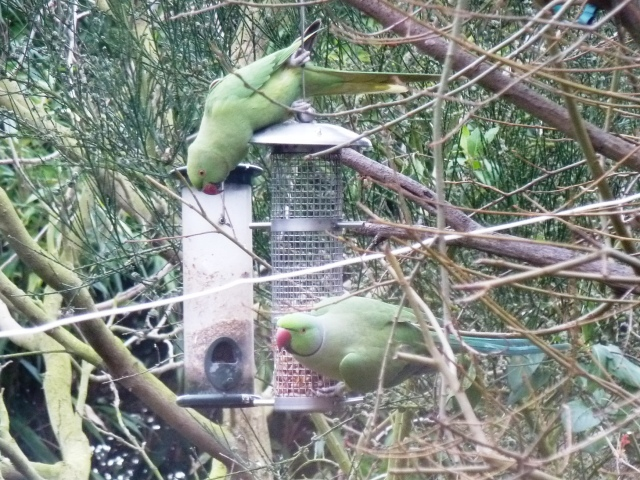 Parakeets in the autumn