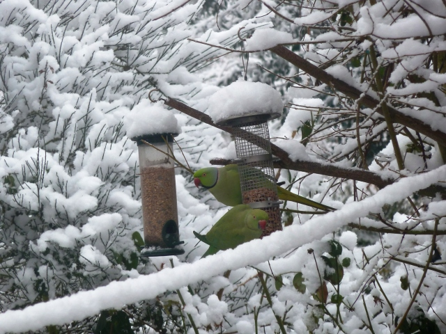 Parakeets in the snow