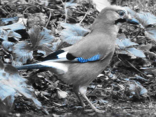 Jay (Garrulus glandarius) (edited with my new camera)