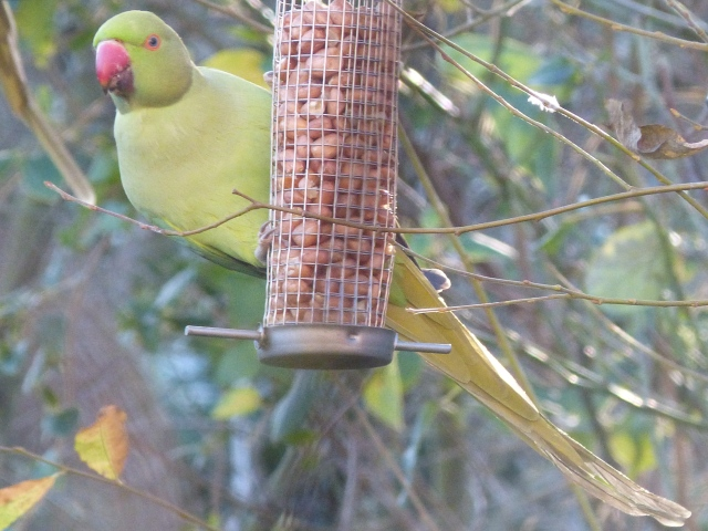 Parakeet (Psittacula krameri)