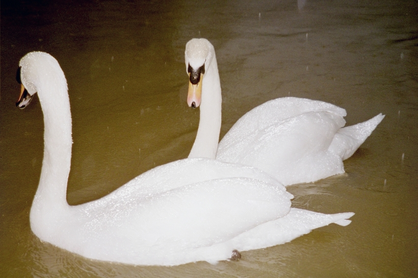 Swans on the flooded Mole at Cobham
