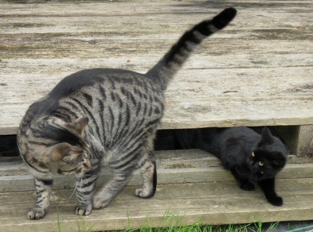 Our first cat Tiggles playing with Lilly Plankton when she was a kitten