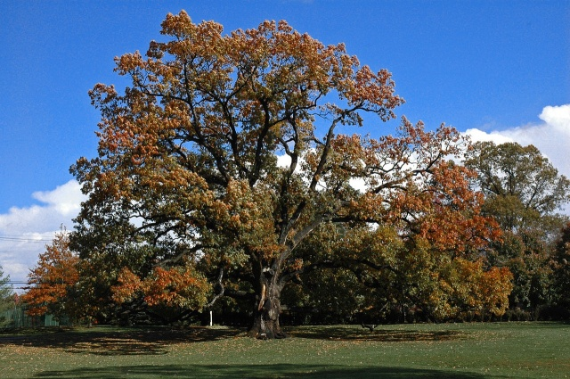 http://upload.wikimedia.org/wikipedia/commons/thumb/8/80/Old_oak_tree_in_Florham_Park_NJ.jpg/1280px-Old_oak_tree_in_Florham_Park_NJ.jpg