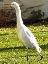 Egret Dancing