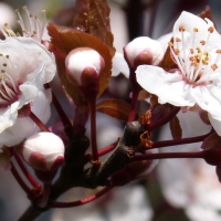 An Apple Blossom Tree