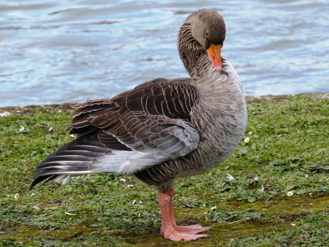 Greylag Goose getting his feathers just right