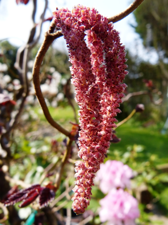 Contorted Copper Hazel Catkins