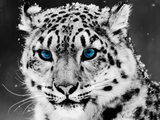It's a Snow Leopard