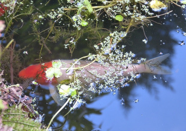 Koi Carp From above