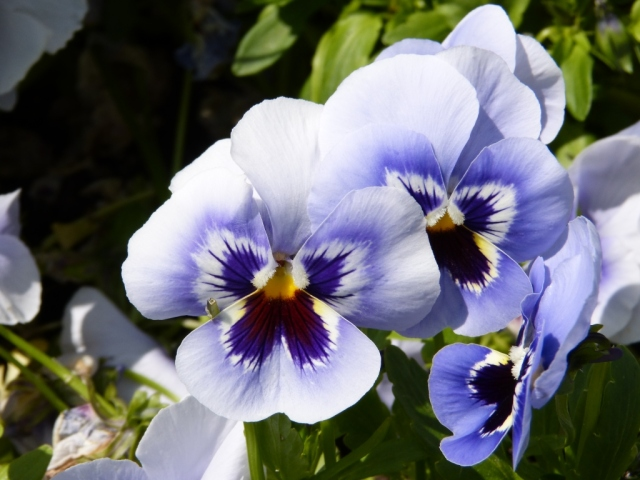 Pansies that look like butterflies