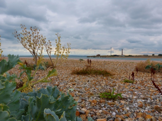 Sea Kale (Crambe maritima) & the entrance to Langstone Harbour from Sinah Beach on Hayling Island