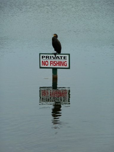 Cormorant Fishing in Birdham Pool