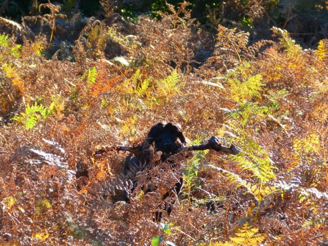 Disappearing Wilson, Stick hunting in the bracken