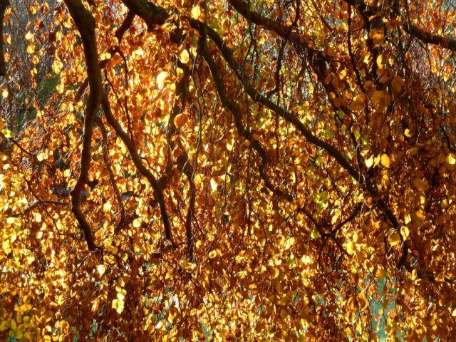 Golden trees in November