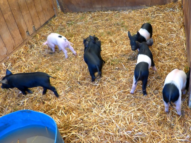 Piglets at the Chertsey Show