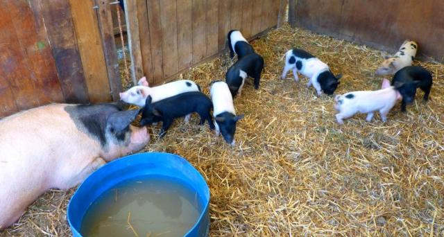 Pigs at the Chertsey Show