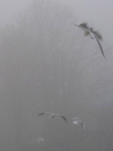 Seagulls on the river at Weybridge