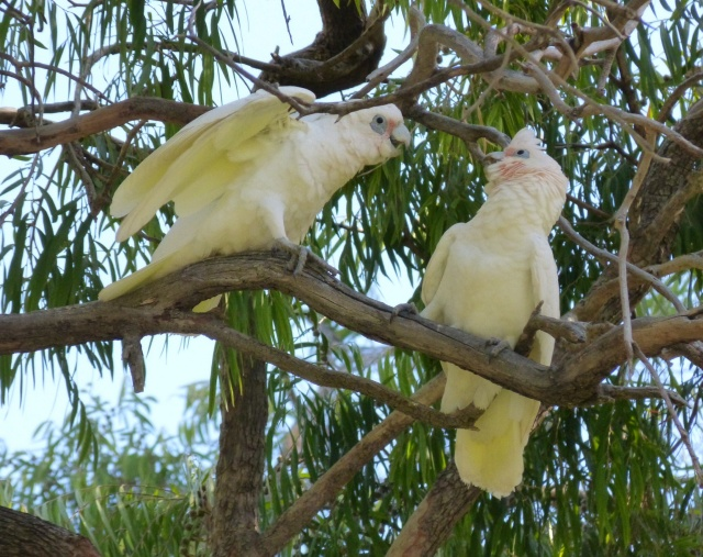 These birds look like Cockatoos, white with yellow and pink feathers