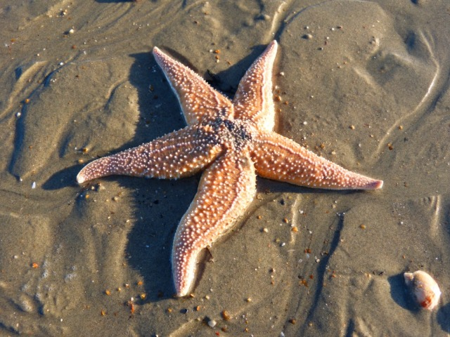 Starfish on Hayling Island Ferry Beach