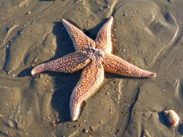 Starfish on Hayling Island Ferry Beach
