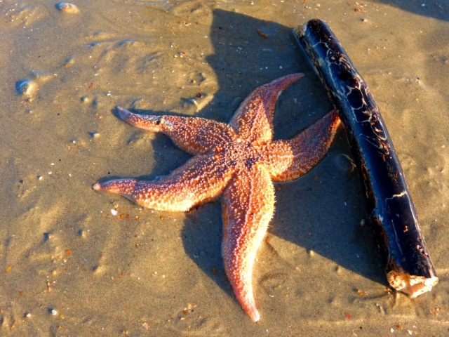 The size of the starfish can be seen by comparing it to Wilson's stick
