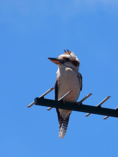 Kookaburra sitting on a TV aerial