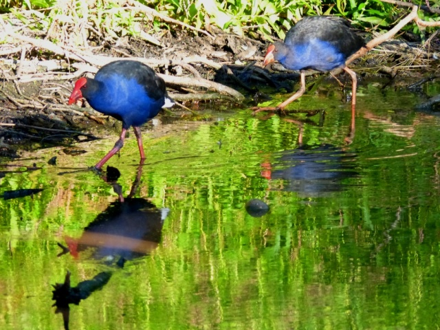 Purple Swamphen or Red Seal Coot