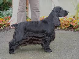 An English Show Cocker Spaniel, Like Wilson!
