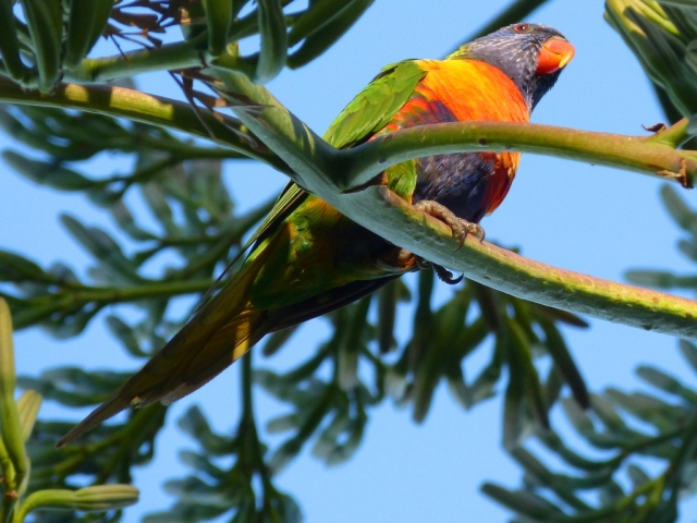 A Rainbow Lorikeet in a tree in the Botanical Gardens in Melbourne