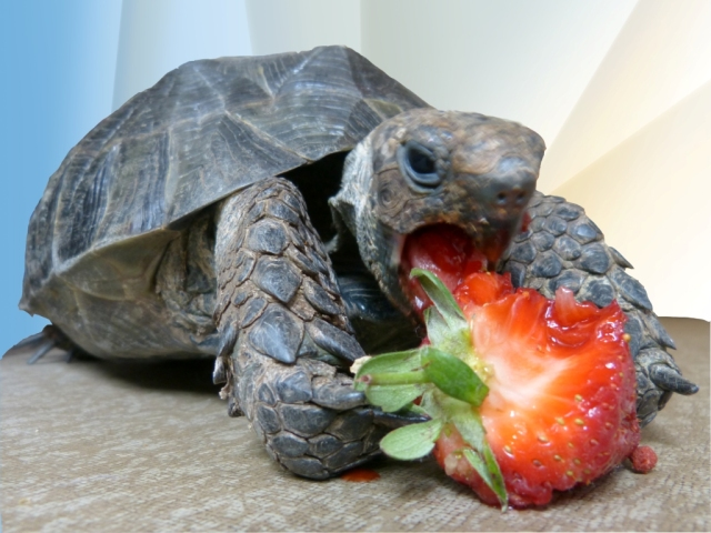 Myrtle and a Strawberry