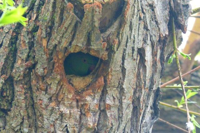 Parakeet Nest