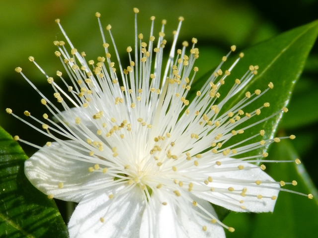 Myrtle Flower Close-up