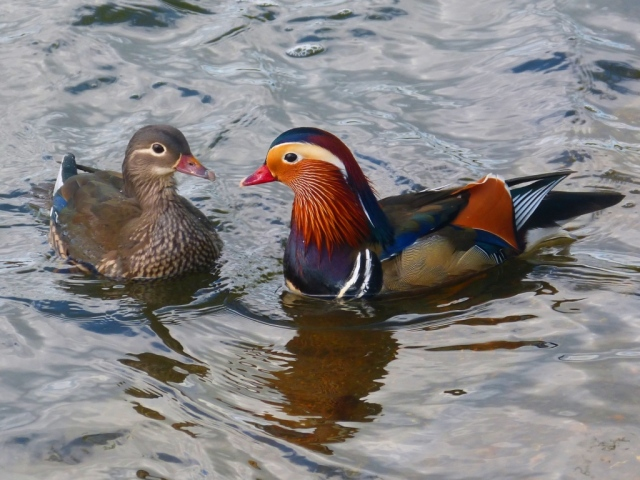 A pair of Mandarin ducks