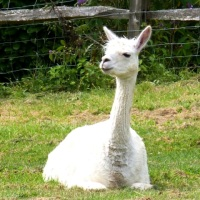 Does anyone eat Llama?